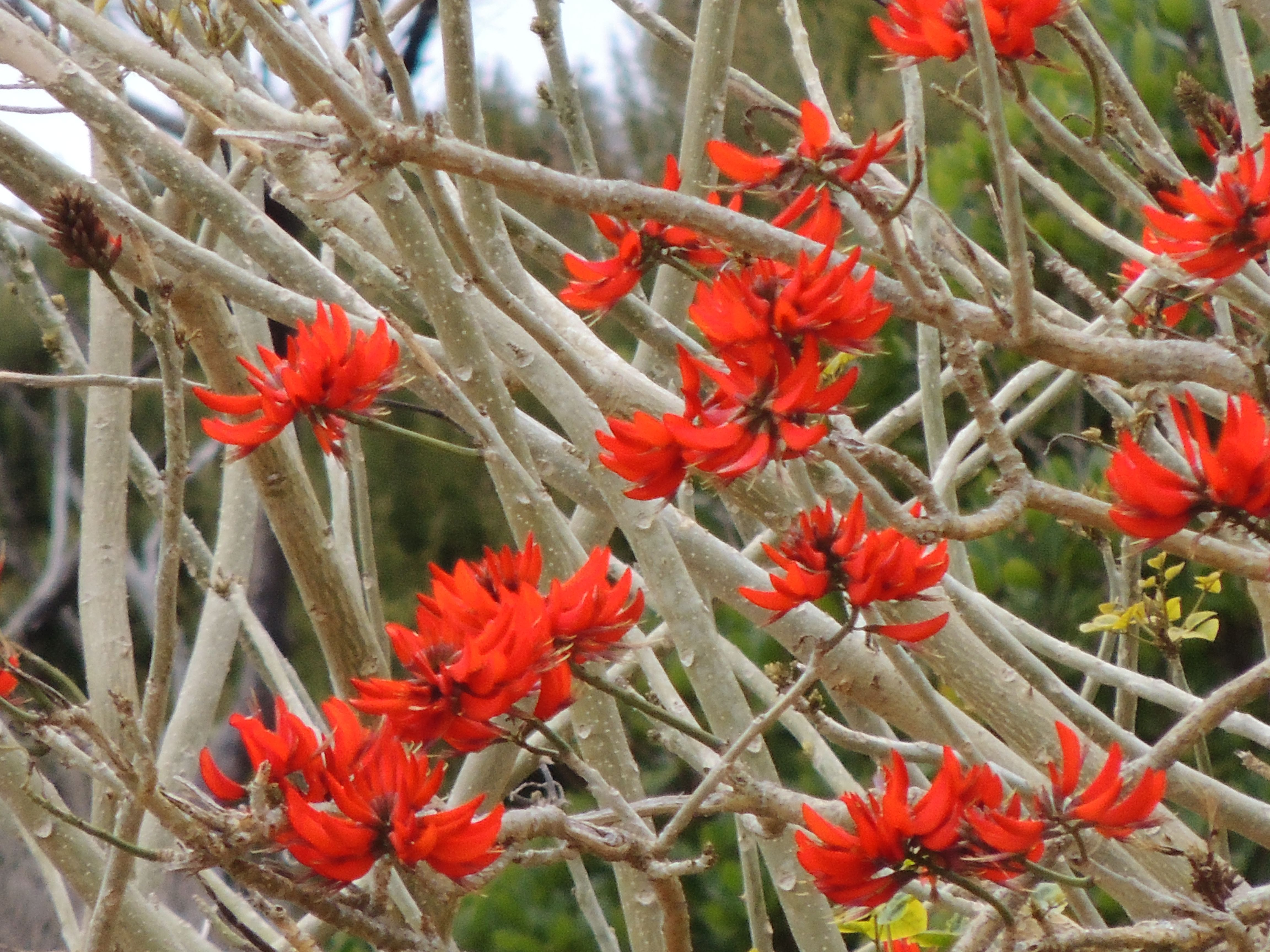Flame Tree - Picture taken from a private beach - Paihia - Bay of Islands - New Zealand - 30th September 2014 #flametrees #trees #paihia #bayofislands #newzealand