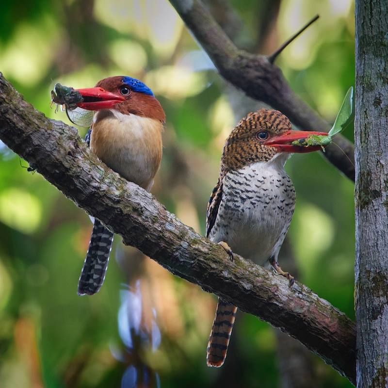 A rare image of 2 banded kingfishers on the same perch