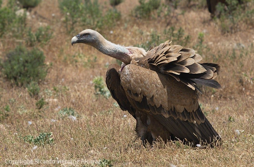 Griffon Vulture, young