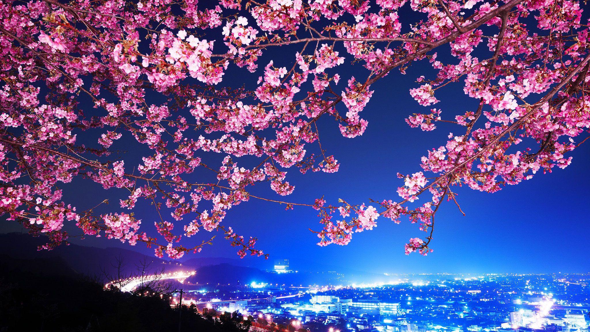 Oboi Panorama Yaponiya Sakura Nochnoj Gorod Dlya Rabochego Stola