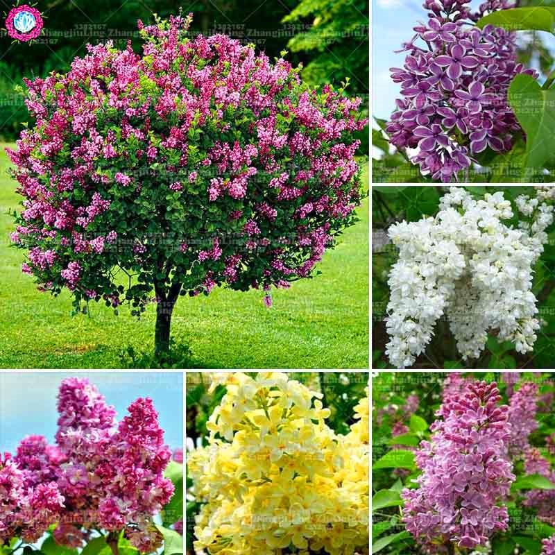 100 Pcs Lilac Seeds Purple Japanese Lilac Extremely Fragrant Clove Flower Seeds Perennial Lilac Trees Outdoor Plant For Flowers Perennials Lilac Plant Plants