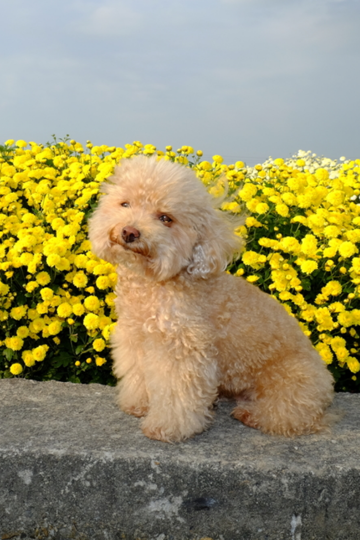 Toy Poodle Maltese With Images Maltese Poodle Maltese Dogs Maltese
