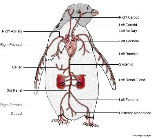 the physiology of respiratory and digestive Respiratory physiology - introduction  the pharynx is common to the digestive and the respiratory tracts and therefore, is incorporated with a defense mechanism.