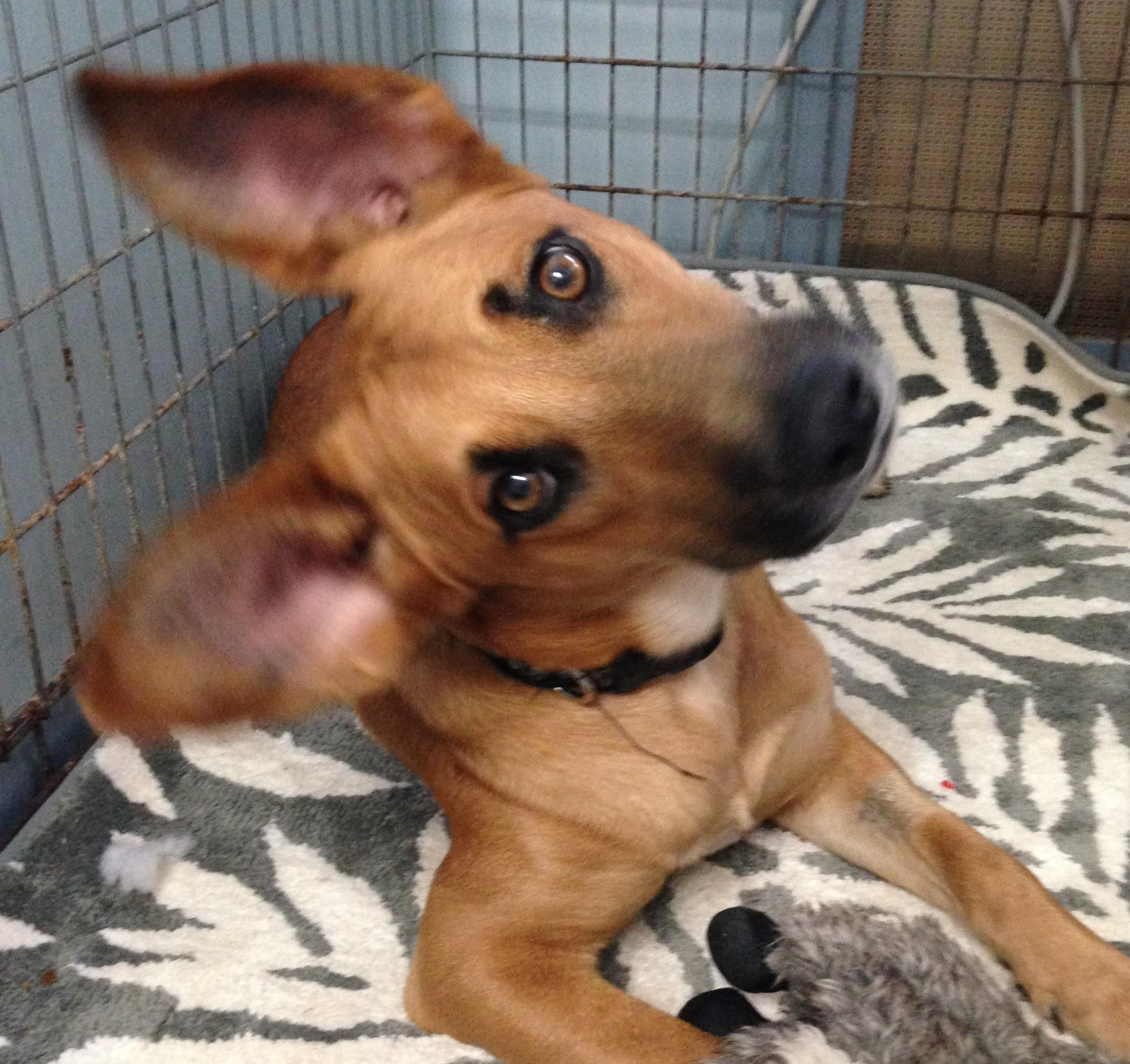 Adopt Johnny On Petfinder In 2020 Dog Search Cute Dogs And Puppies German Shepherd Dogs