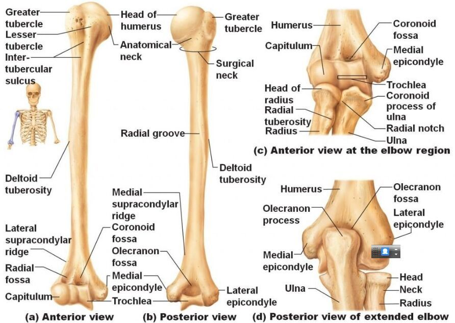 Humerus Anatomy Humerus Bone Humerus Bone Anatomy Medical