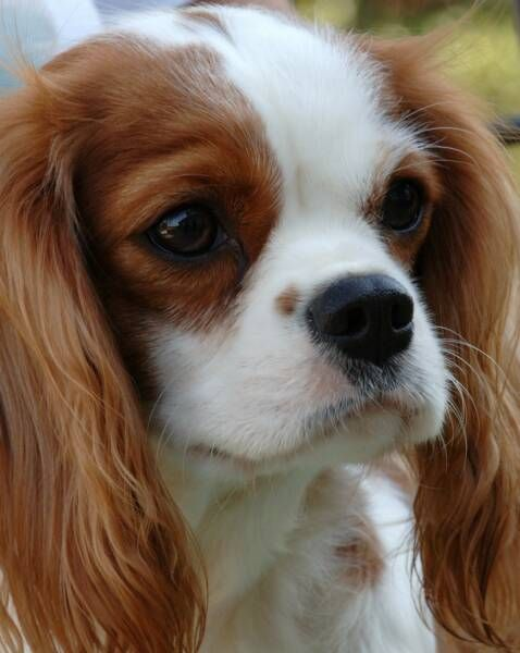 Cavalier King Charles Spaniel Cavaliers By Crumley Cavalier