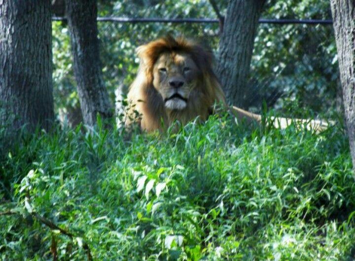 I Call Him Simba I Took It At Six Flags Safari Safari Six Flags Pics