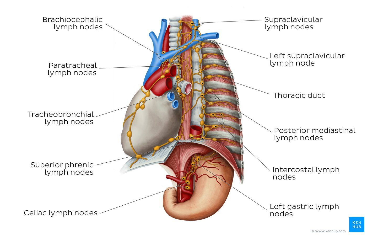 Lymphatics Of The Mediastinum Overview In 2020 Thoracic Cavity Thoracic Duct Lymph Nodes