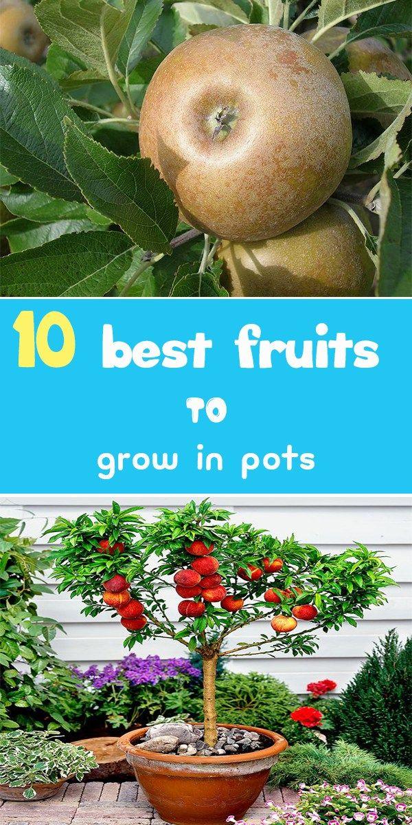 Best Fruits To Grow In Pots Food Garden Container Gardening Vegetables Growing Fruit Trees