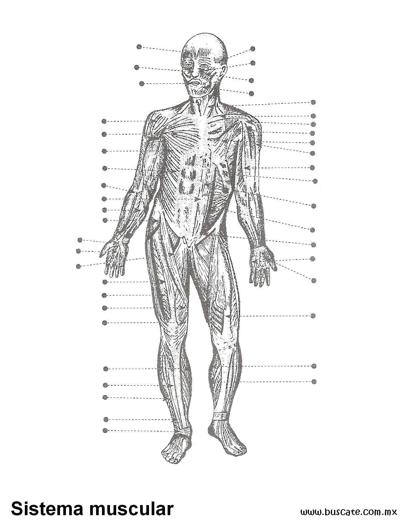 Esquema del sistema muscular. Sin nombres de sus partes. Para ...
