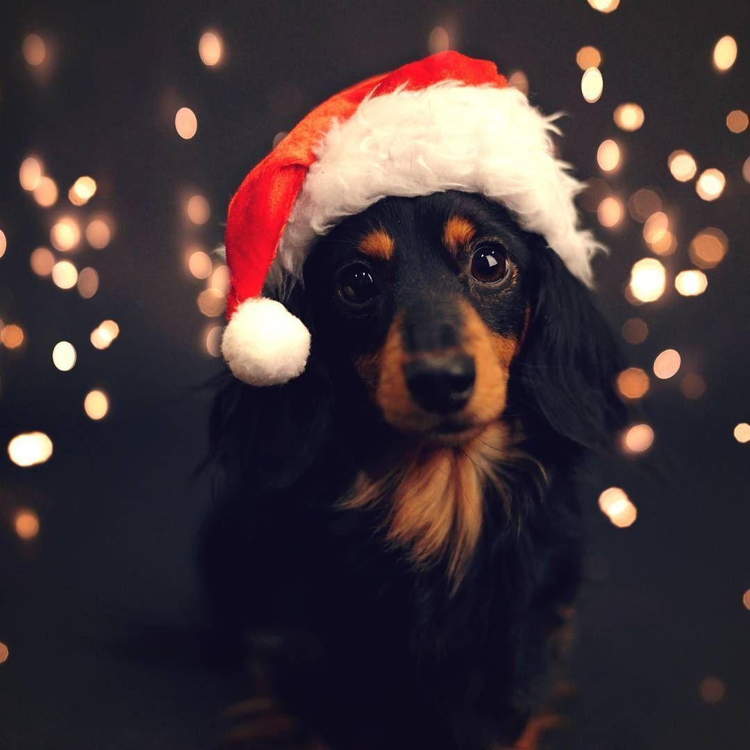 Corgi Puppy Christmas Countdown 2020 Animals Dapple dachshund Pets Long haired dachshund Dachshund