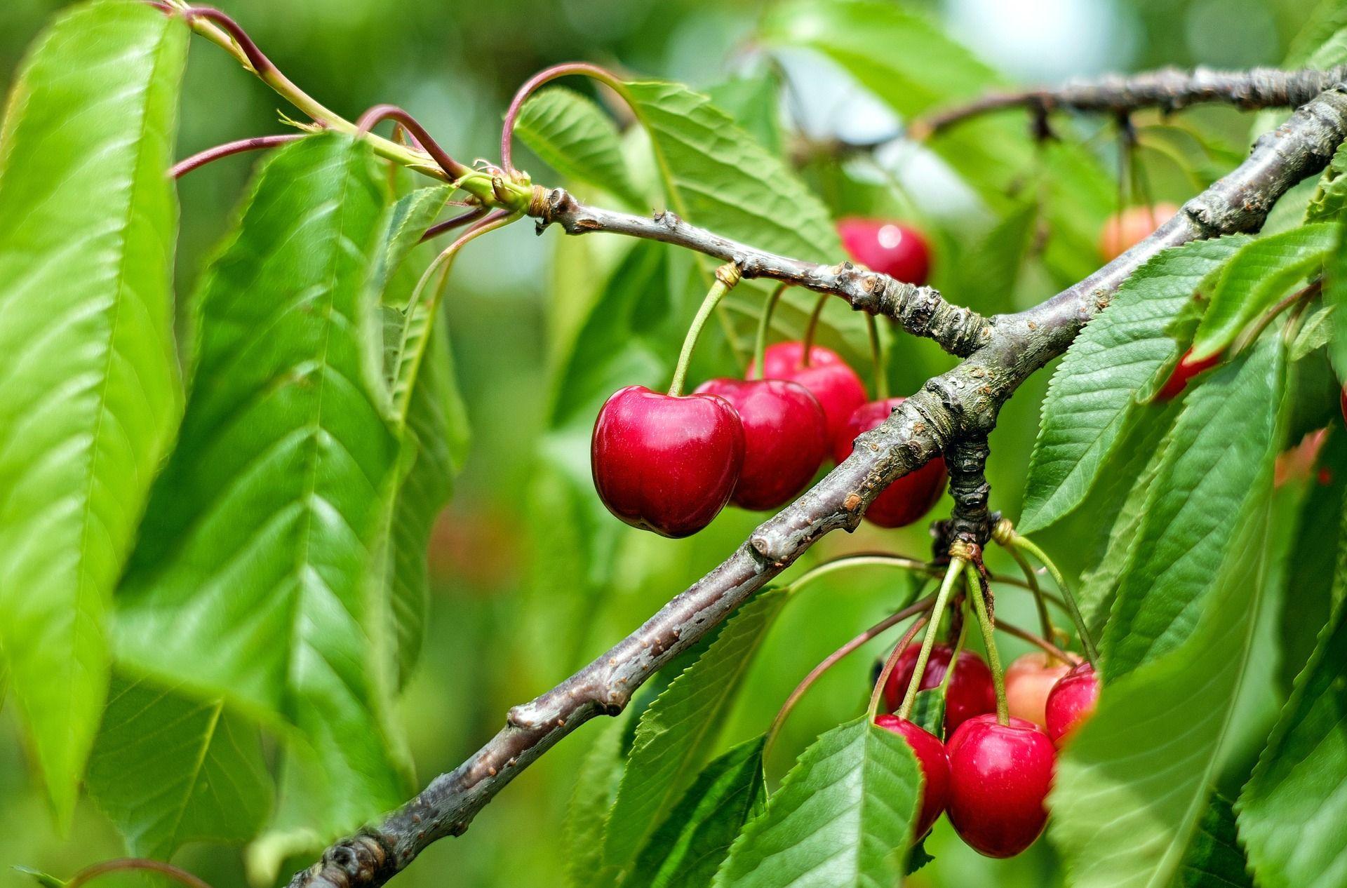 Cherries Sour Cherry Tree Cherry Tree How To Grow Cherries