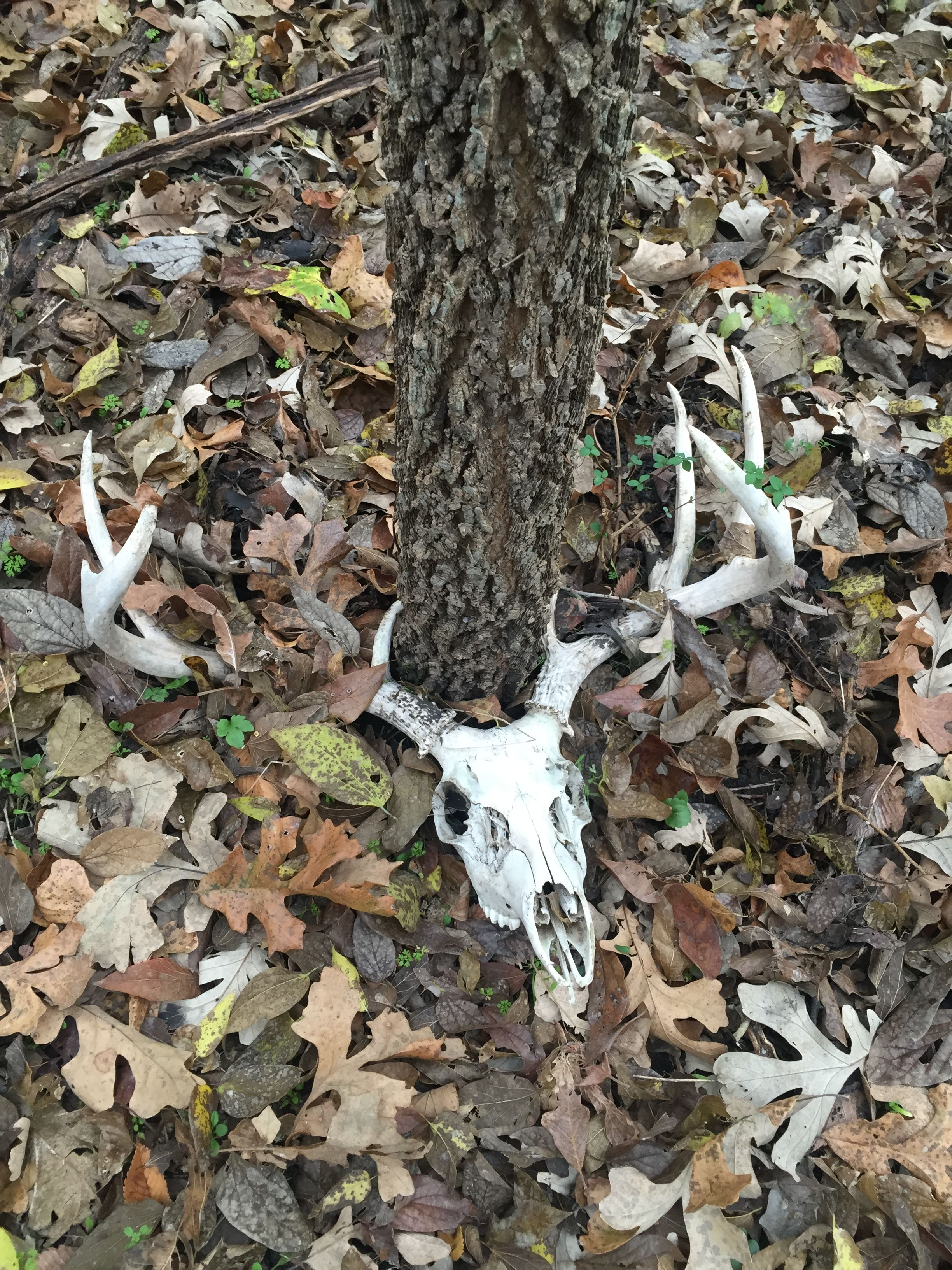 Deer skull found still locked to tree and was difficult to