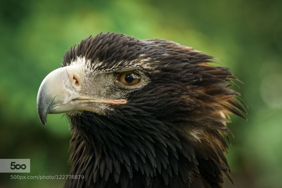 Eagle Portrait by KW-Foto. Please Like http://fb.me/go4photos and Follow @go4fotos Thank You. :-)