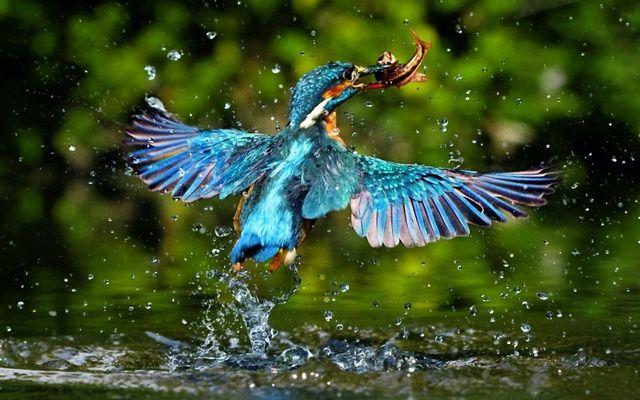 Stunning Photographs Of Kingfisher Bird Birds Wallpaper Hd Bird Wallpaper Kingfisher Bird