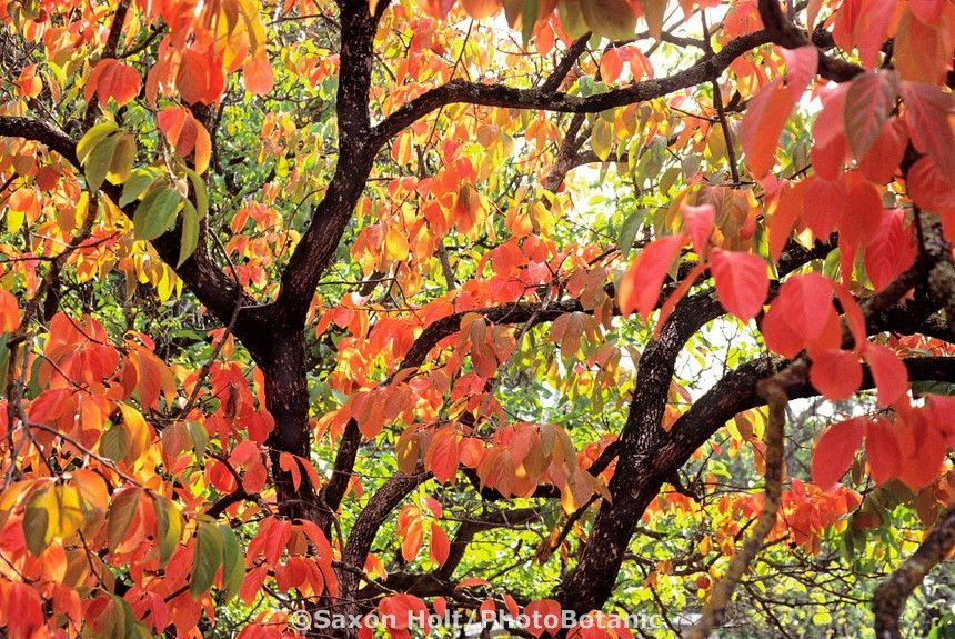 Holt 931 238 Cr2 Photobotanic Stock Photography Garden Library Dry Garden Persimmon Growing Peonies