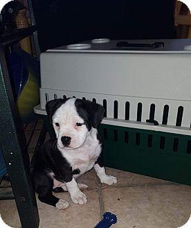 Marysville Mi American Bulldog Boxer Mix Meet Zadie A Puppy