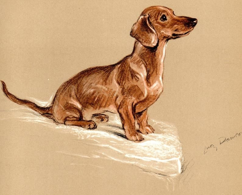 Dachshund 1937 Original Vintage Color Dog Print By Lucy Dawson