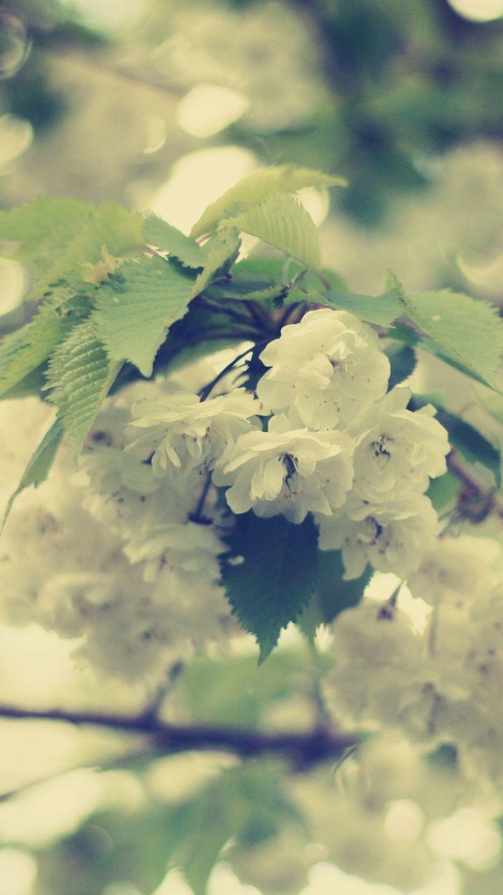 Download Wallpaper 720x1280 Macro Flowers White Branch Samsung