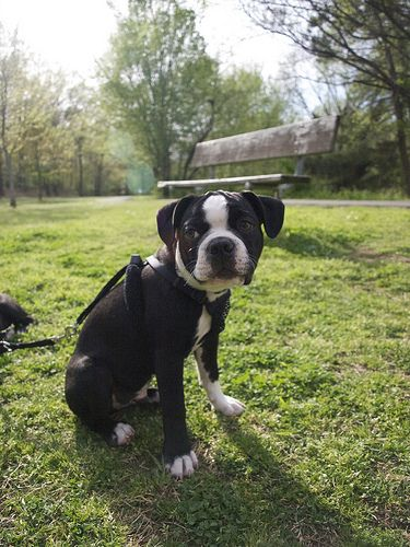 P4032918 Boston Terrier Boston Terrier Love Cute Animals