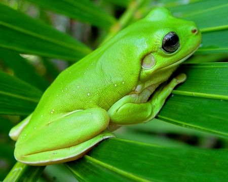 aafb88abaded7 Green tree frog - photograph