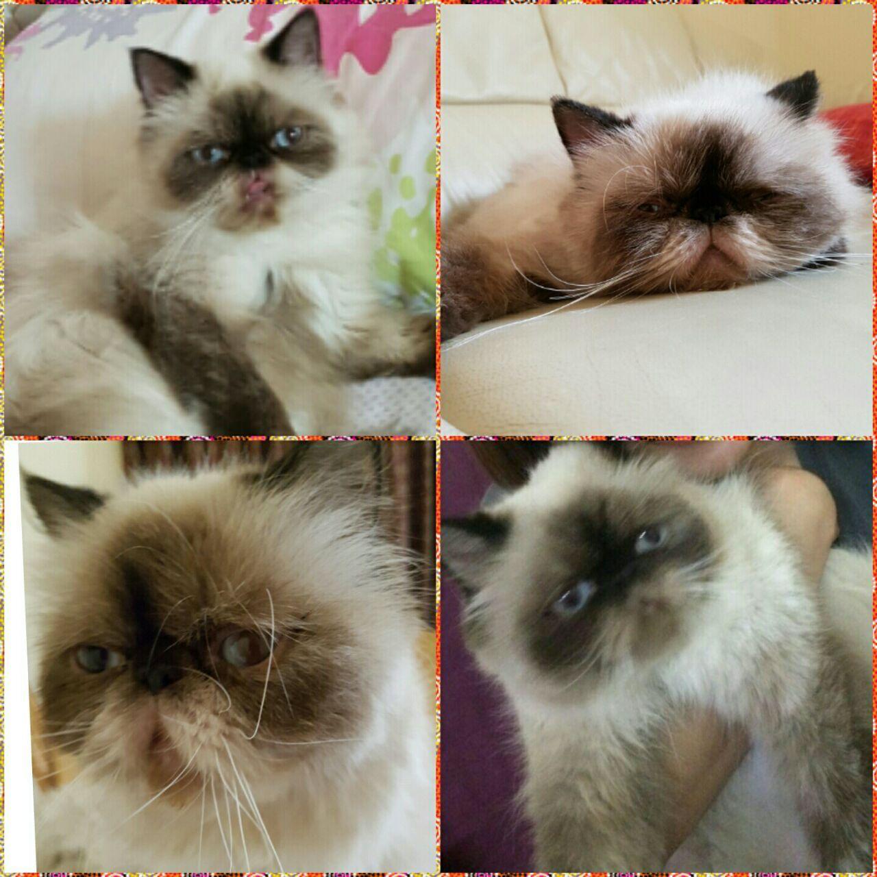 معلومات عن الإعلان قطة هيملايا شوكليت بيكي فيس العمر ما يقارب ثلاث سنوات السعر 1500 درهم للتواصل 0552502402 الدولة Dubai رقم المو Cats Animals