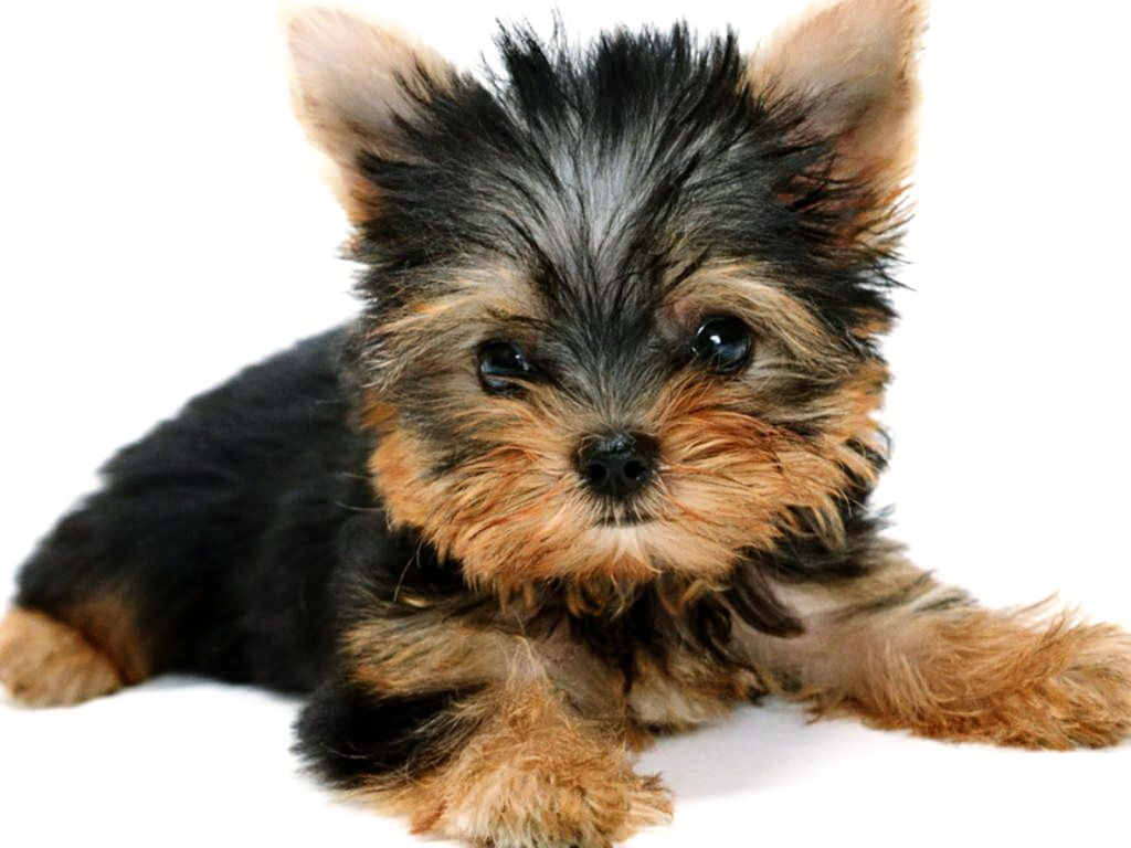 pics of black and brown puppies   Dog Wallpapers ...