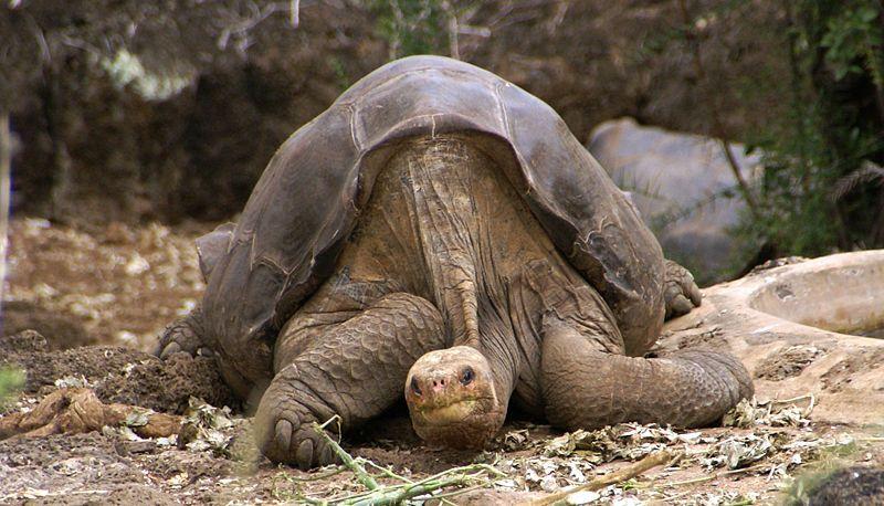 Lonesome George, the last known Pinta Island Tortoise.
