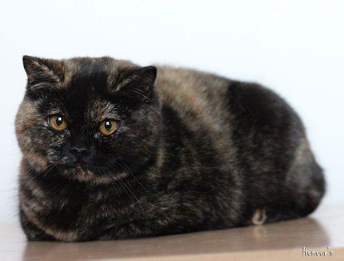 British Shorthair, British Shorthair Cattery, British Shorthair Kedi, ingiliz kedisi, Satılık British Shorthair Kedi Yavrusu, Satılık Kedi Yavrusu