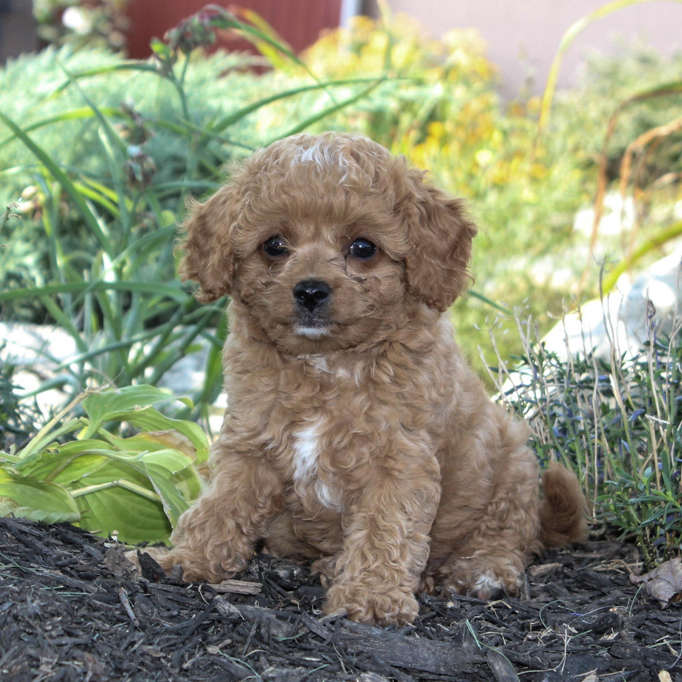 Puppies For Sale Cavapoo Puppies Dog Breeder Puppy Adoption