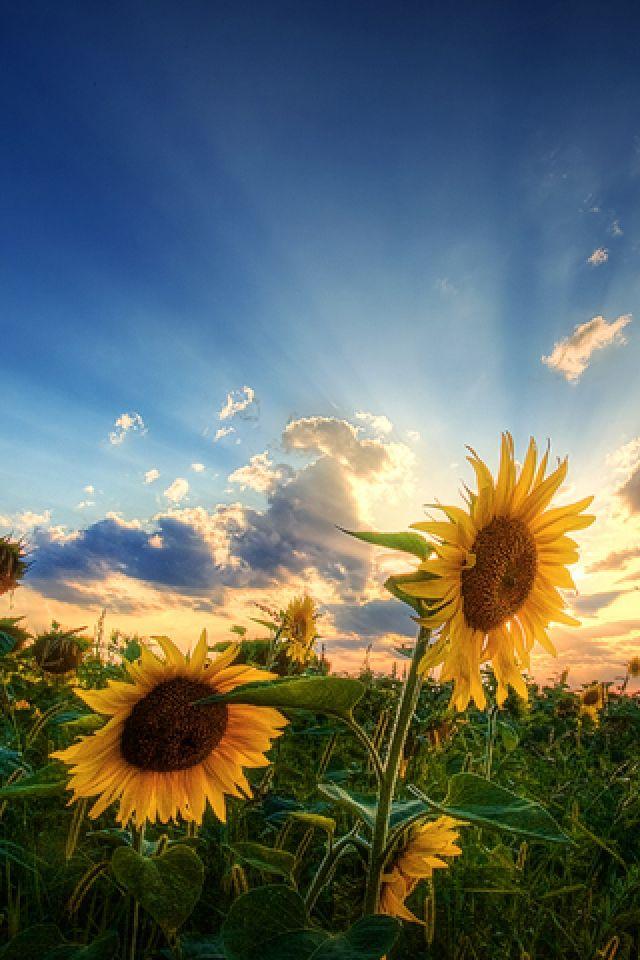 Natural Sun Flower And Sun Light Not A Sun Flower Fan But This Shot Is Gorgeous Sunflower Pictures Sunflower Wallpaper Beautiful Flowers