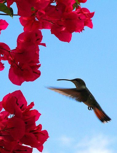 Winged Jewel in flight!