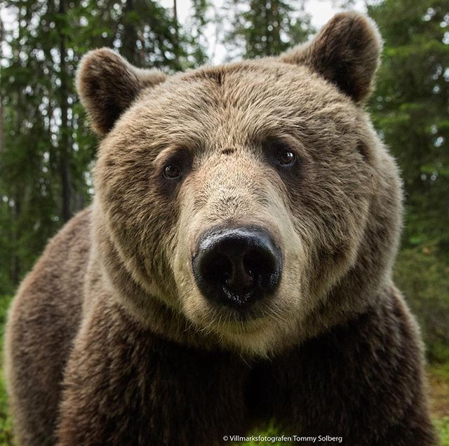 Brown Bear Up Close All You Need Is A 24mm Some Honey And A Hide And A Bit Of Patience Nikond5 24m Bear Totem Brown Bear Bear Pictures