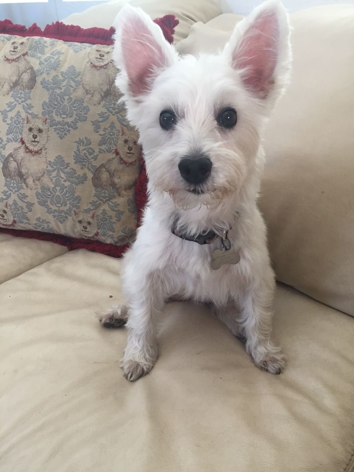 Adopt Zoey on Petfinder Westie dogs, West highland white