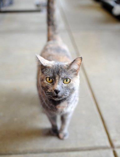 Adopt Lexi On Petfinder Grey Tortoiseshell Cat Pretty Cats Pets