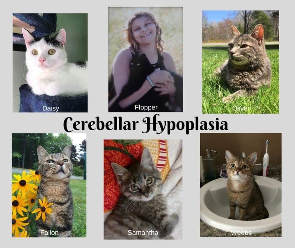 Cerebellar Hypoplasia Animals, Cats