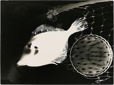 Prof. Edmund Kesting  1882, Dresden, Germany – 1970, Birkenwerder bei Berlin, Germany,  Fisch, ca. 1929–1933  Vintage gelatin silver print (photogram)  11 3/4 x 15 5/8 inches (29.8 x 39.7 cm)