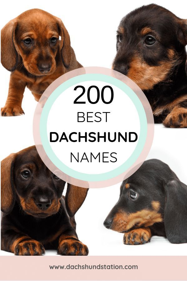 Best Dachshund Names Of 2020 Dog names, Puppy names