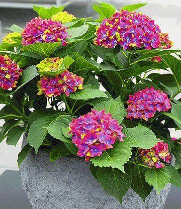 Hortensien Im Schatten freiland hortensie saxon schloss wackerbarth plantes et fleurs