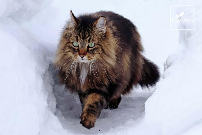 Bosque De Noruega Carácter Tamaño Origen Curiosidades Feelcats Bosque De Noruega Razas De Gatos Gato Bosque De Noruega