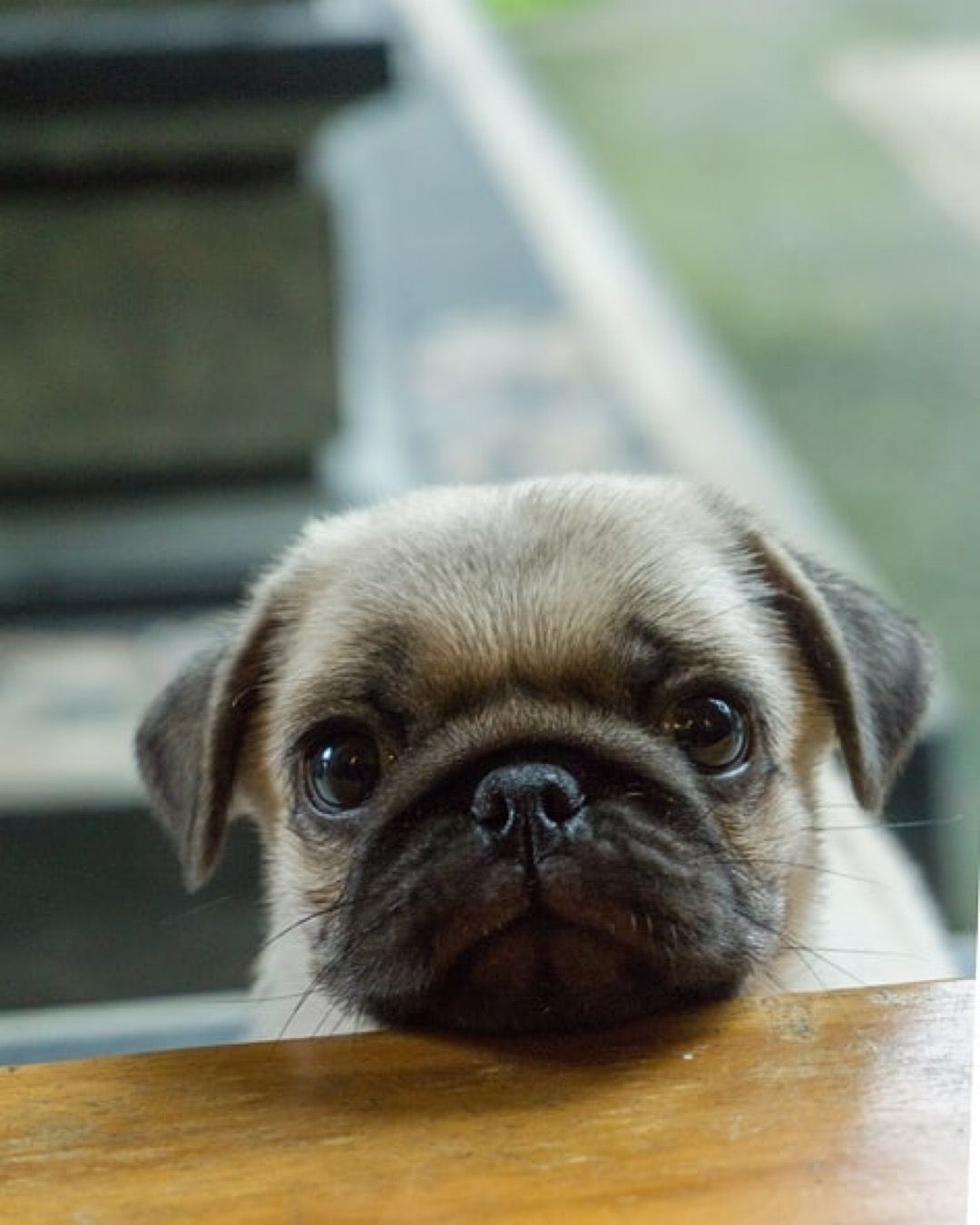 pug-crazy.com  #cutepugpuppies