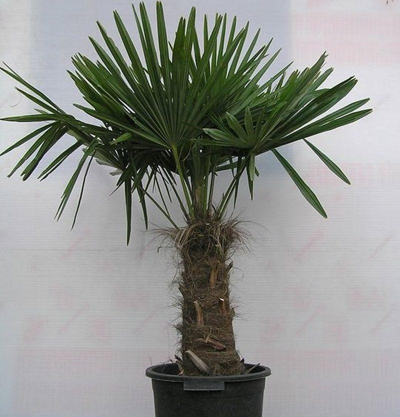 6 Palmenarten Fur Den Innenbereich Eigenschaften Und Pfelgetipps Zimmerpalmenarten Kentiapalme Yucca Garden Palme Palmenarten Bluhende Pflanzen Pflanzen