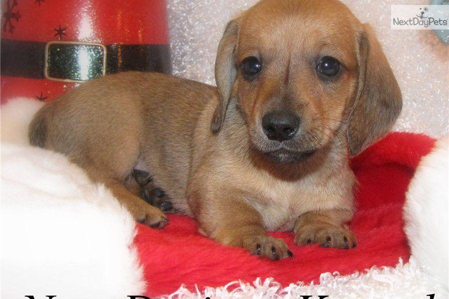 Free Miniature Dachshund Puppies Cute Dachshund Mini Puppy For Sale For 450 Bernie Bri Dachshund Puppy Miniature Mini Puppies Dachshund Puppies For Sale