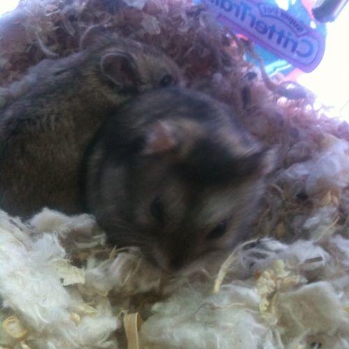Commando And Zack Small Pets Hamster Winter White Hamster