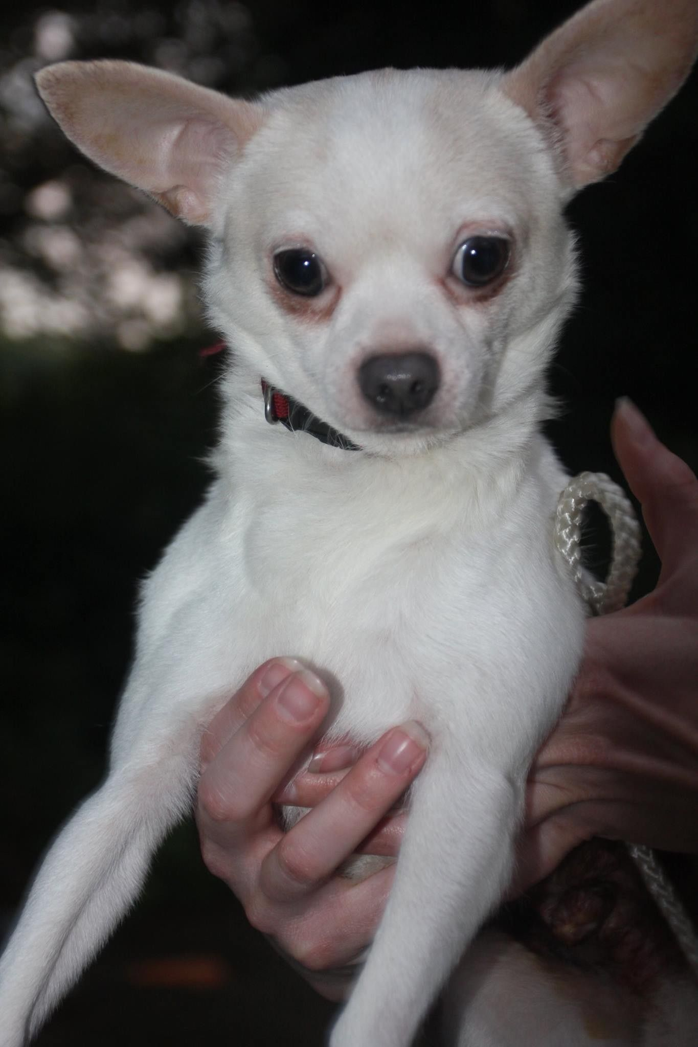 Chihuahua Dog For Adoption In Forest Va Adn 418507 On