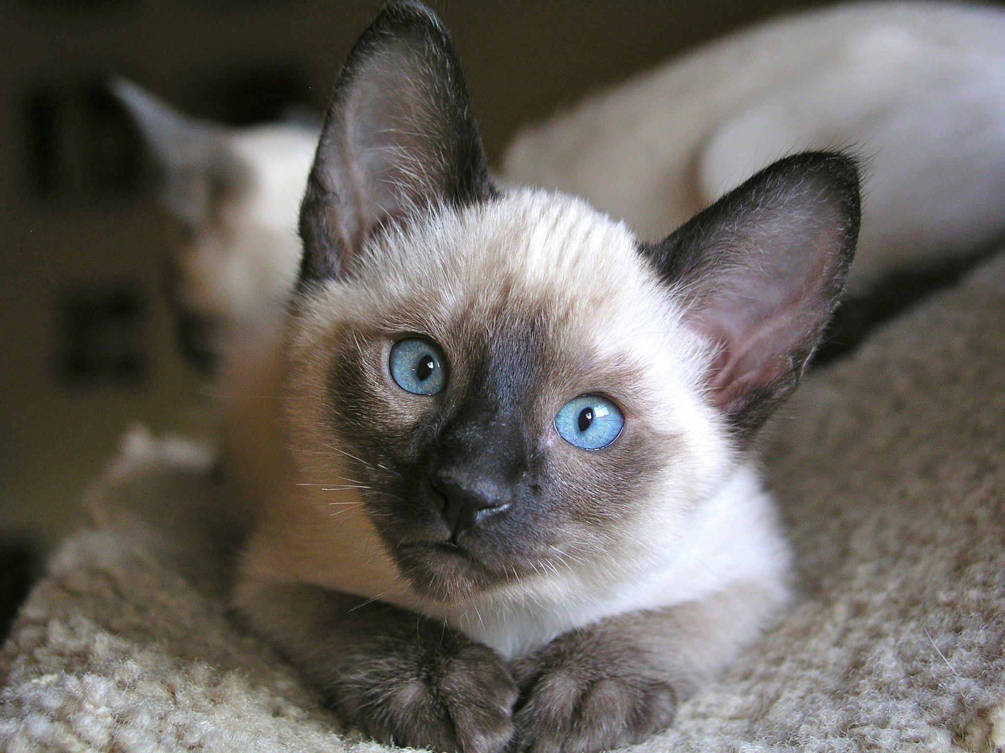 картинки сиамские что за кошки бегающие мини-игрушки