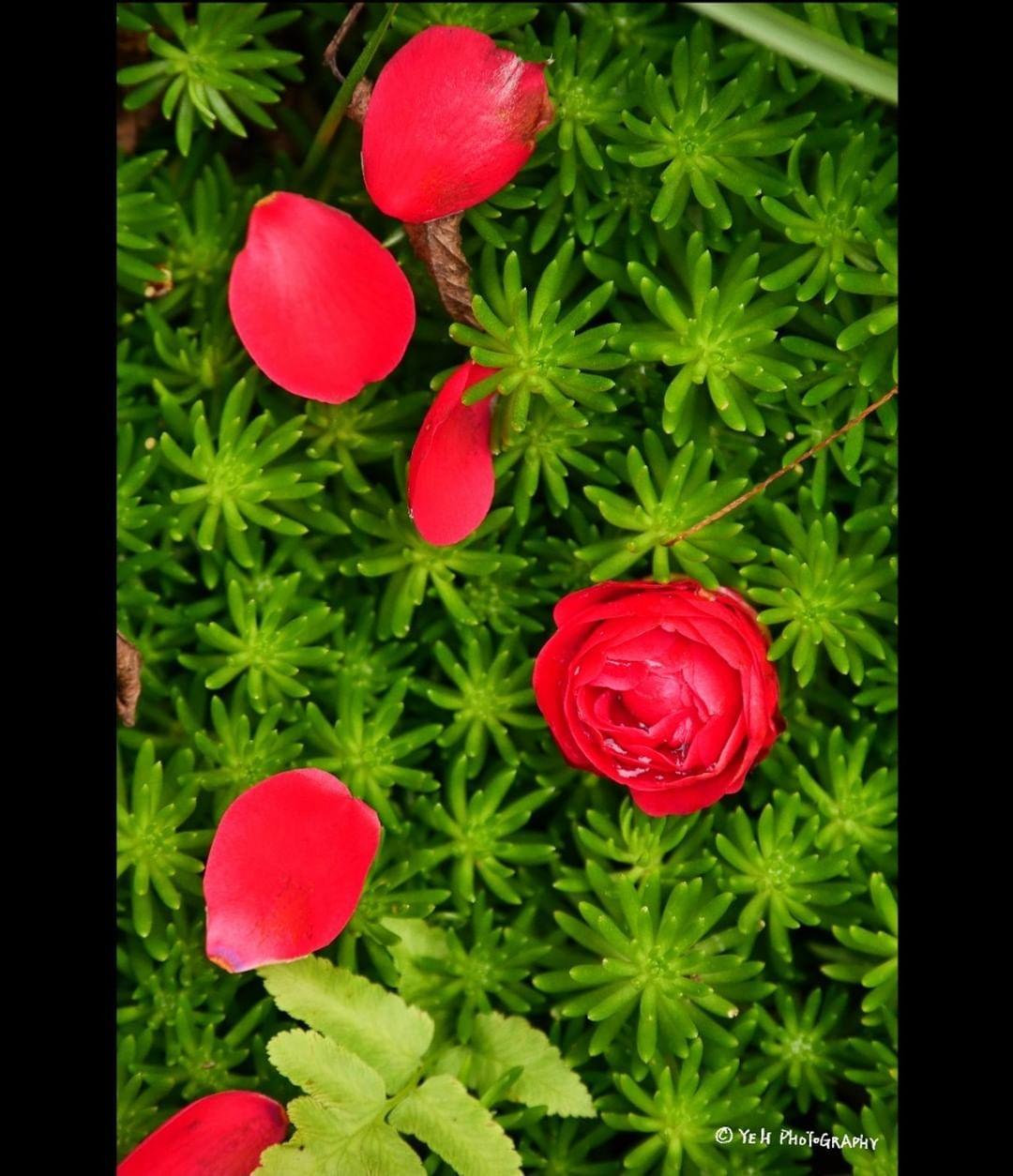 . [Life-宜蘭] Red and green 。 ------------------------------------- Location:HOME CAMERA:LUMIX GX9 LENS:Panasonic G X VARIO 35-100mm F2.8 II POWER O.I.S. Filter:Marumi/CPL #YEH_Photography . . . . #red  #green  #my_daily_flower #flower_special_ #loves_garden #花の写真館 #lovely_flowergarden #flowerart #flowersofinstagram #igscflowers #flowers #東京カメラ部 #bns_flowers #tokyocameraclub #superb_flowers #ptk_flowers #ig_discover_petal #kings_flora #flowergram #庭の花 #花好きな人と繋がりたい #lovelyflowers #flower_shotz #写真好