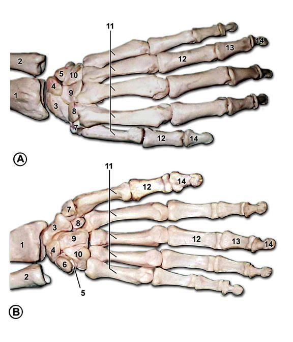 Bones of the left hand. A is the back of the hand, B is the palm ...