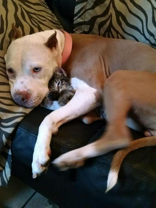 cuteness—overload: Kitten thinks the pitbull is his new mom