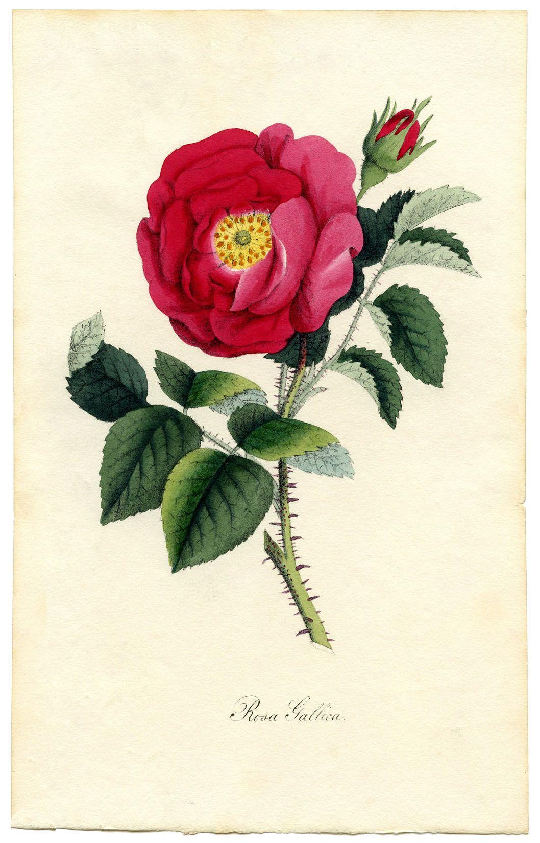 Rose Botanical Print - the Graphics Fairy